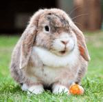 Rabbit ready to move to belgium