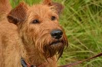 Irish Terrier heading to Ireland