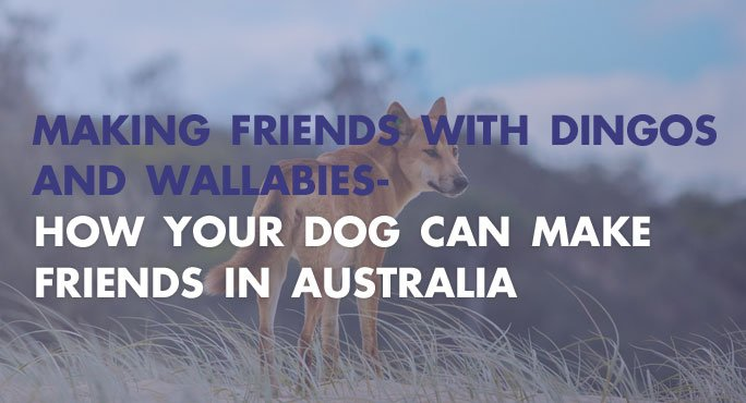 How your dog can make friends with Wallabies and Dingos in Australia