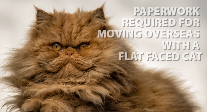 brown fluffy persian flat faced cat