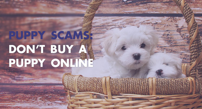 Why Identifying An Online Puppy Scam Is Important