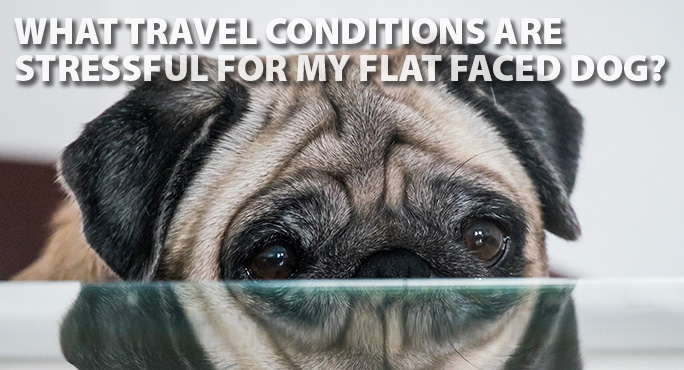 Starwood-flat-face-dog-travel-blog