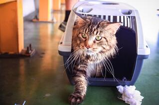 Cat coming out of an IATA-approved kennel after a flight