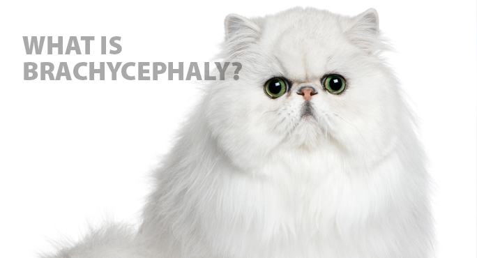 white persian cat, a brachycephaly breed