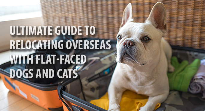 flat-faced-dog-ready-for-overseas-travel
