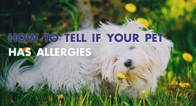 How To Tell if Your Pet Has Allergies